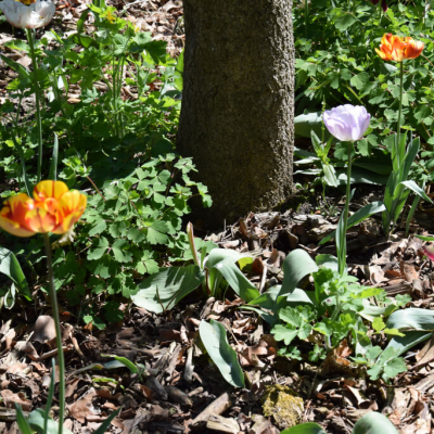 Gutshaus Volzrade Tulpen Garten
